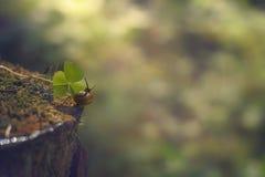 Малая улитка вползает вдоль пня в направлении зеленых лист в лесе утра, лете Стоковые Изображения RF
