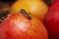 Малая улитка на красном яблоке Стоковое Изображение