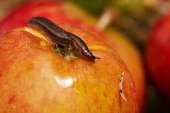 Малая улитка на красном яблоке Стоковые Изображения