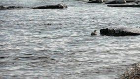 Малая чайка плавает около берега и ныряет около утеса Ледистые утесы и берег сток-видео
