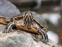 Малая черепаха вытаращить на камере Стоковые Изображения RF