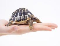 Малая черепаха (черепаха) в руке стоковые изображения rf