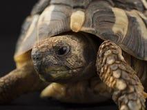 Малая черепаха (черепаха) Стоковые Изображения