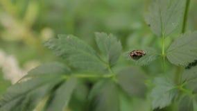 Малая черепашка на листьях сток-видео