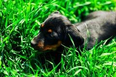Малая черная собака лежит в зеленой траве Такса щенка играя в высокой траве outdoors Стоковое Изображение