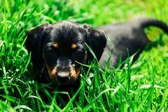 Малая черная собака лежит в зеленой траве Такса щенка играя в высокой траве outdoors Стоковая Фотография RF