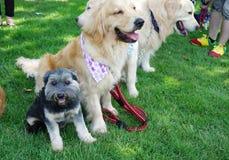 Малая черная собака сидя среди собаки золотого retriever Стоковые Фото