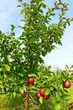 Малая яблоня. стоковые фотографии rf