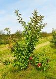 Малая яблоня. стоковая фотография rf