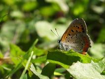 Маленькая бабочка на сияющих лист Стоковая Фотография RF