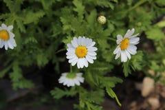 Маленькая белая маргаритка Стоковая Фотография