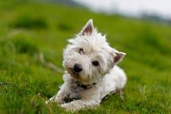 Маленькая белая собака опрокидывая свою головку Стоковое Изображение RF