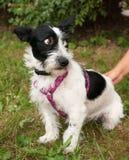 Маленькая бородатая проводка собаки в пинке на предпосылке травы Стоковая Фотография