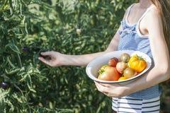 Маленькая девочка в шляпе лета собирает зрелые органические томаты в парнике стоковые изображения rf