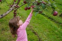 Яблоки рудоразборки стоковые изображения