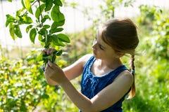 Маленькая девочка проверяя листья на зеленом дереве Стоковые Изображения