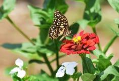 Маленькая еда находки бабочки на красном цветке Стоковая Фотография RF