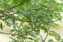 Маленькая зеленая птица Пчел-едока в желтый садиться на насест на ветви дерева du Стоковая Фотография