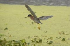 Маленькая зеленая цапля летая над вегетацией болота в Флориде Стоковые Изображения RF