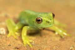 Маленькая зеленая лягушка с красными глазами Стоковое фото RF
