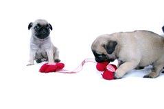 Маленькая игра Mopsa щенят с связанным красным цветком стоковое изображение