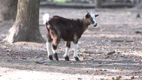 Маленькая коза в древесинах сток-видео