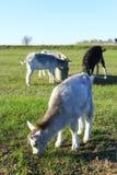 Маленькая коза на выгоне Стоковое фото RF
