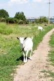Маленькая коза на луге с зеленой травой Стоковая Фотография RF