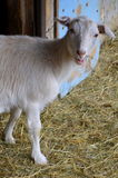 Маленькая коза - любимчик Стоковое фото RF