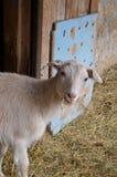 Маленькая коза - любимчик Стоковое Фото