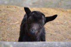 Маленькая коза - любимчик Стоковые Фото
