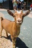 Маленькая коричневая коза младенца стоковые изображения rf