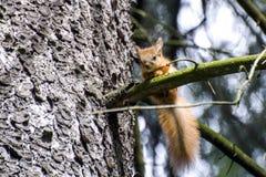 Маленькая красная белка на ветви дерева Стоковое фото RF