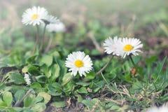 Маленькая маргаритка - маргаритка весны Стоковое Фото