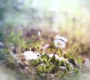 Маленькая маргаритка - маргаритка весны Стоковое Изображение RF