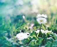 Маленькая маргаритка - маргаритка весны Стоковые Фотографии RF