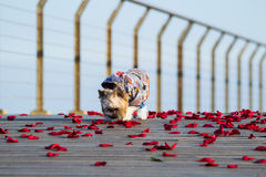 Маленькая милая одетая собака идя на лепестки розы Стоковая Фотография