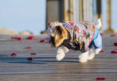 Маленькая милая одетая собака идя на лепестки розы Стоковые Изображения RF