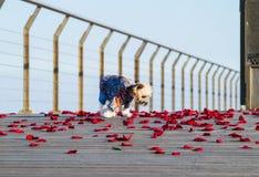 Маленькая милая одетая собака идя на лепестки розы Стоковые Фотографии RF