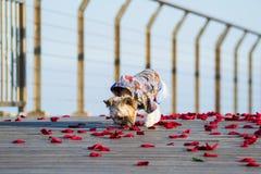 Маленькая милая одетая собака идя на лепестки розы Стоковые Фото