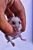 Маленькая мышь в руке Стоковое фото RF