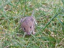 Маленькая мышь в траве стоковые фотографии rf