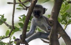 Маленькая обезьяна в кроне дерева Стоковые Фото