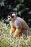 Маленькая обезьяна играя в траве Стоковое Фото