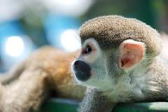 Маленькая обезьяна отдыхая на древесине Стоковые Фото