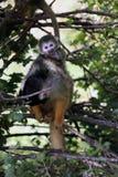 Маленькая обезьяна сидя в дереве с ее детенышами на ей назад Стоковые Изображения RF