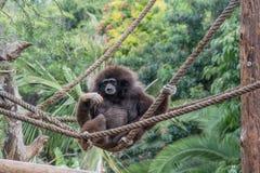 Маленькая обезьяна сидя на веревочках Стоковое Фото