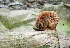 Маленькая обезьяна спать Стоковая Фотография