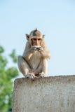 Маленькая обезьяна Стоковая Фотография