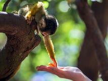 Маленькая общая обезьяна белки - Saimiri Стоковое Изображение RF